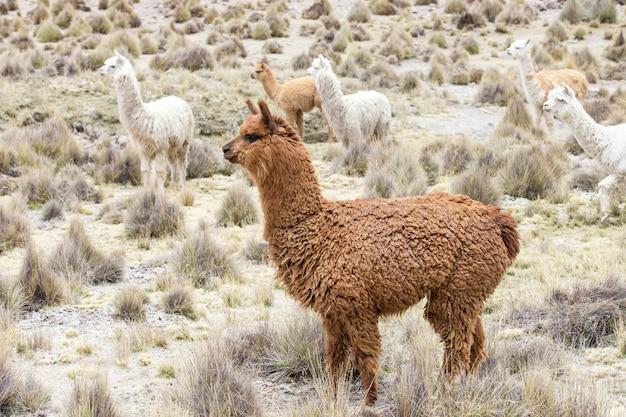 Llama in the nature