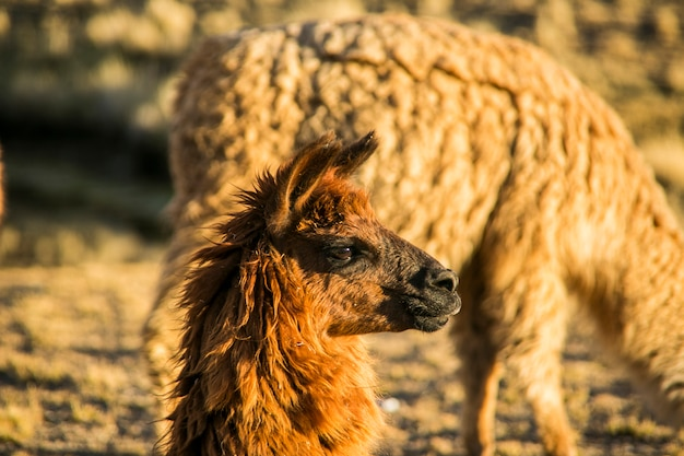 Llama portrait from cordillera real