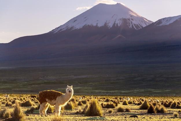 Llama in remote area of bolivia