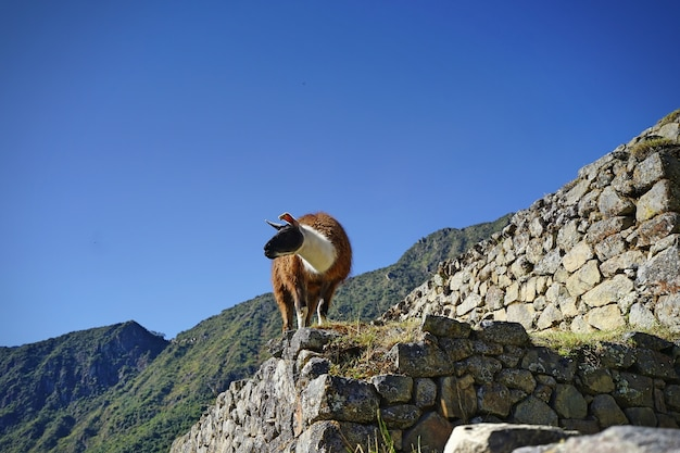 The llama standing on the stone at machupicchu.