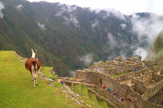 Llama walking on the green hill of machu picchu archaeological site in cusco region, peru