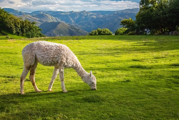 Ламы и альпаки в саксайуамане, руины инков в перуанских андах, куско, перу