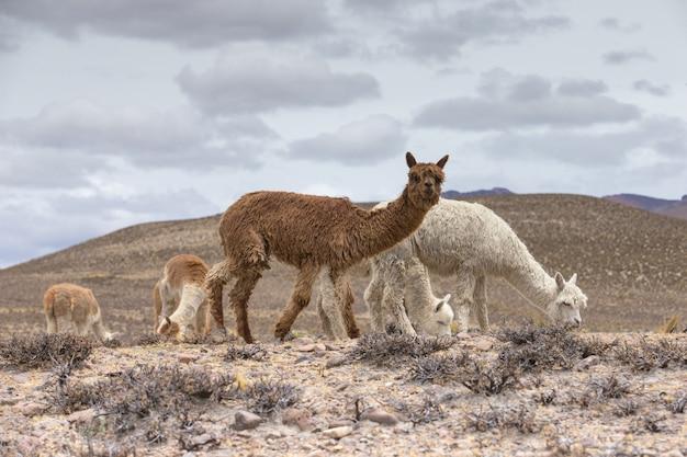 Llamas in andes