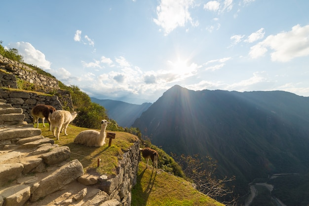 Llamas in backlight at machu picchu, peru
