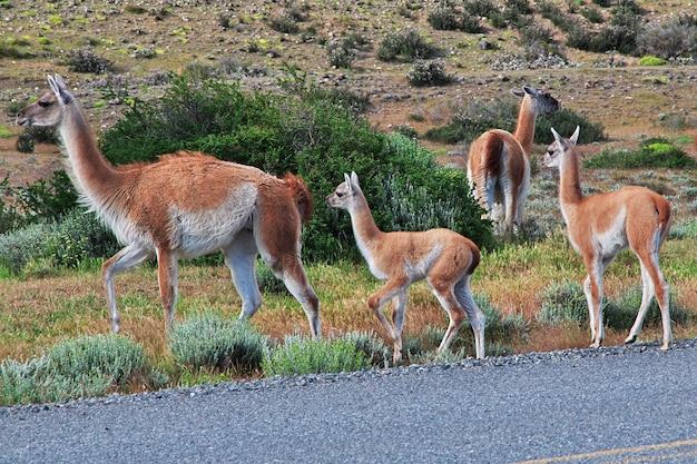 チリの放牧ラマ