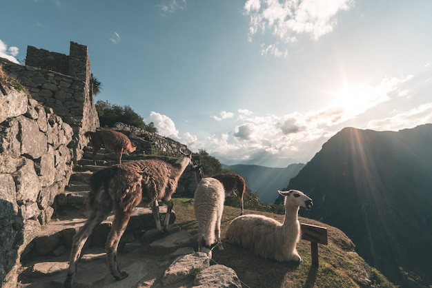 Llamas at machu picchu, peru, top travel destination in south america.