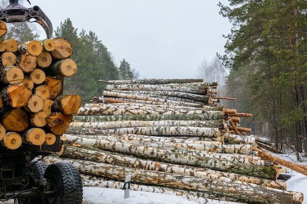 Loading birch logs onto special vehicles. freshly chopped birch tree. harvest of timber in the winter. wood industry.