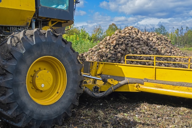 Loading the harvested sugar beet by a loader onto trucks