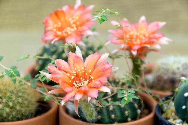 鍋にオレンジ色の花とロビビア