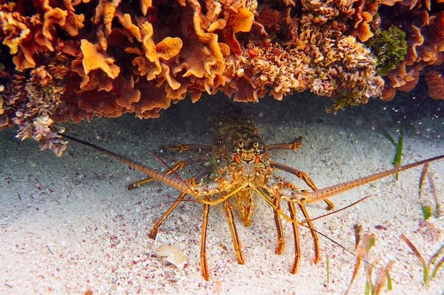 Lobster in great mayan reef at riviera maya