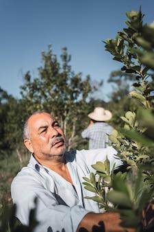 예르바 마테 식물 수집에 전념하는 지역 농부들.