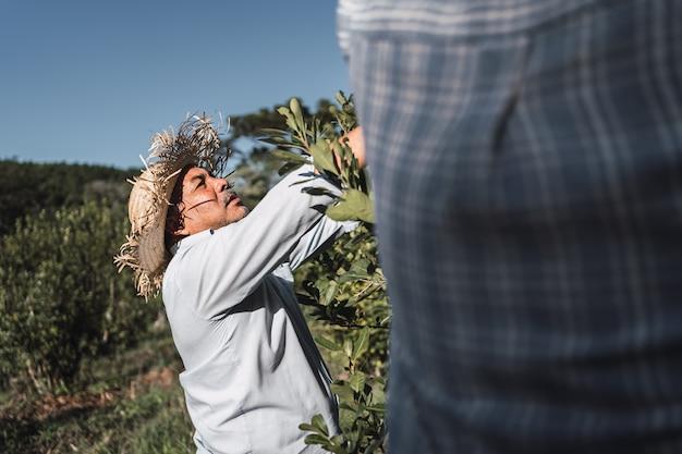 예르바 마테 식물의 수확에 전념하는 지역 농부들.