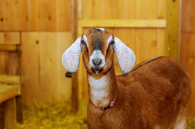 Local goat in the rural farm