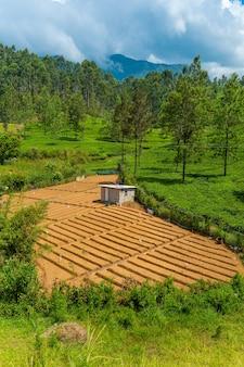 스리랑카의 현지 가정. 평평한 침대가 있는 녹색 채소밭.