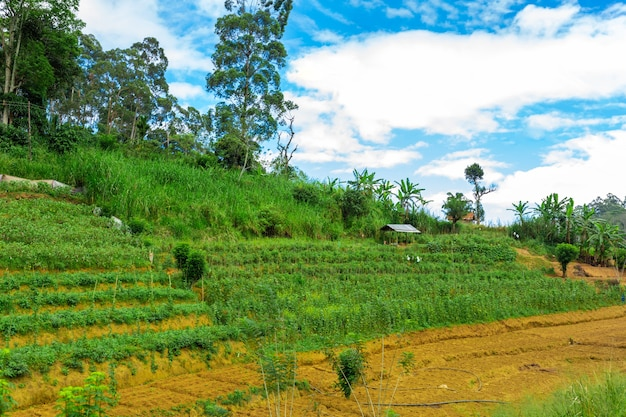 Local household in sri lanka. a green vegetable garden with even beds.