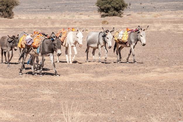 地元の人々。モロッコ