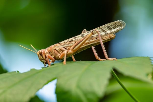Саранча со стороны ест лист, животное макро