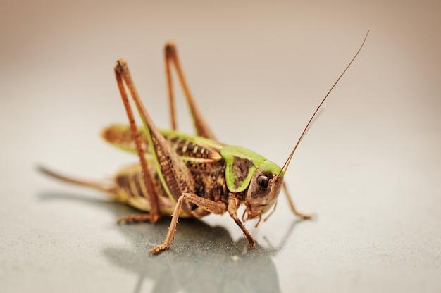 Locust, grasshopper