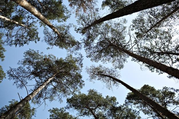 Lofty pine trees, sky