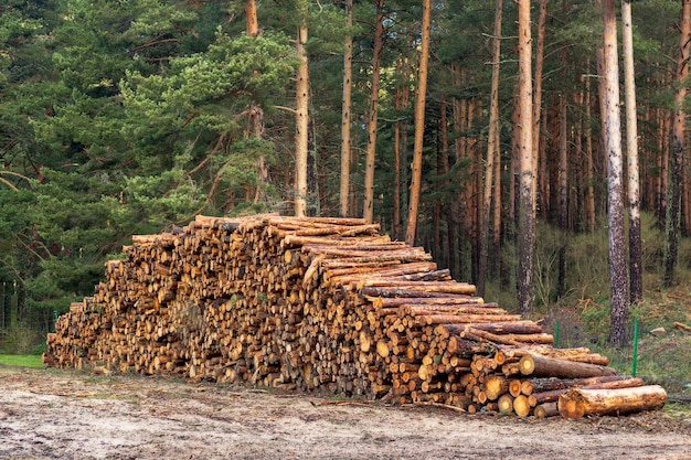 Logging, deforestation of the planet. stacked logs. scene of stacked pieces. pino de valsain in segovia, castilla y leon.