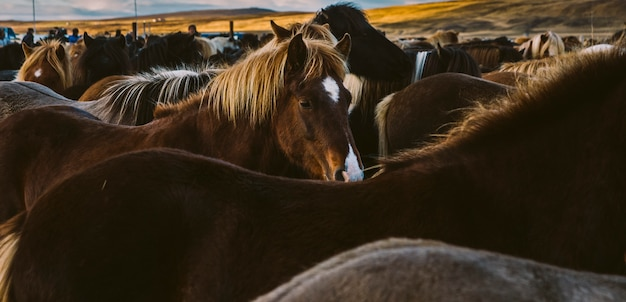 많은 아이슬란드 말의 허리와 갈기.