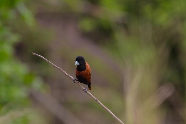 栗の栗は枝に、黒は枝の上にミュニアを向かった。 (lonchura malacca)