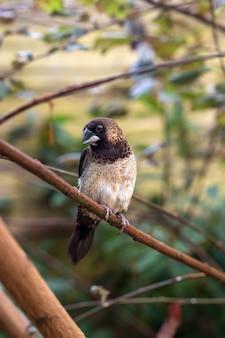 Lonchura striata domestica птица сидит на ветке дерева на открытом воздухе