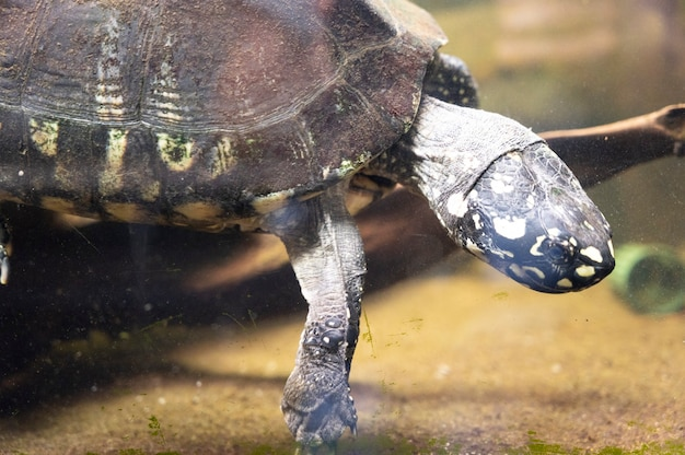 London, u.k., july 22, 2021: turtle in the aquarium at terrarium london zoo park