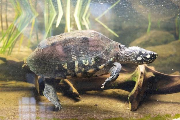 2021년 7월 22일 영국 런던: 테라리움 런던 동물원 공원 수족관에 있는 거북이