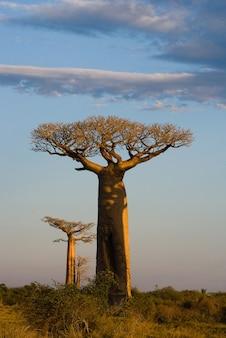 マダガスカルの空の背景に孤独なバオバブ