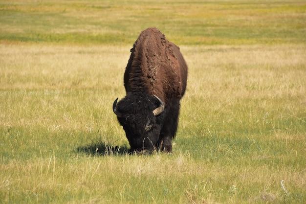 Bisonte solitario che pascola sull'erba in una prateria nel dakota del sud.
