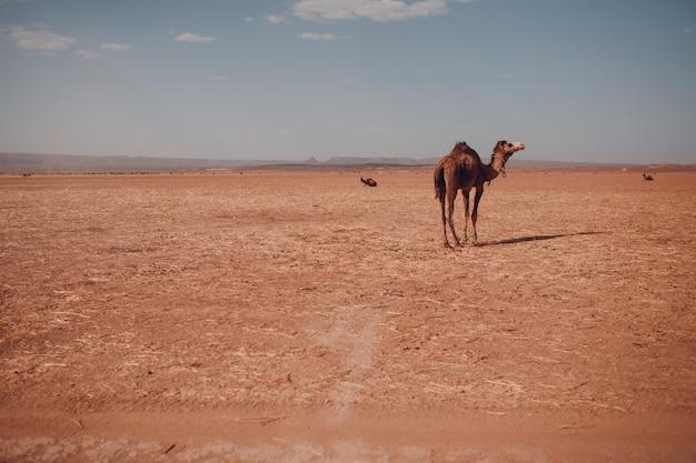 砂漠のサハラ砂漠の孤独なラクダ。砂と太陽。
