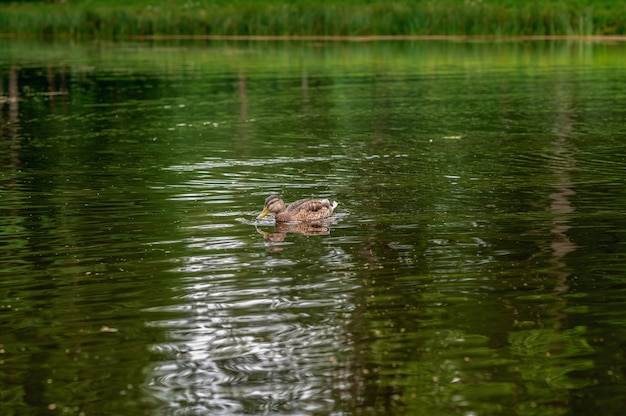 A lone duck swims in a pond natural light