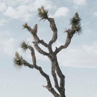 カリフォルニアの砂漠の孤独なジョシュアツリー