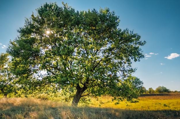 明るい日のフィールドでローンオークの木