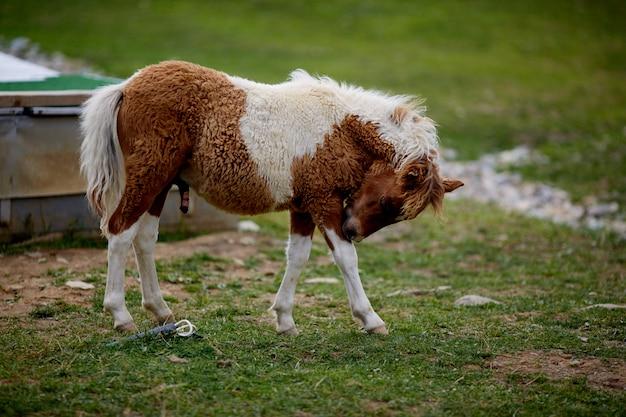 Одинокий шетландский пони гуляет по траве на шотландском болоте на шетландских островах