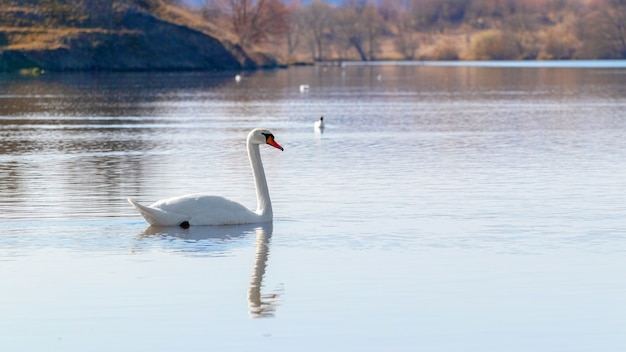 Lone swan on the river in the morning_