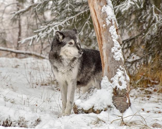 Одинокий волк, заглядывающий вокруг ствола дерева