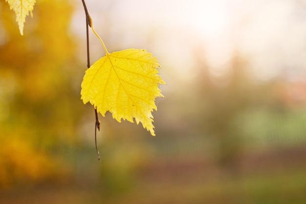 Одинокий желтый березовый лист на ветке дерева
