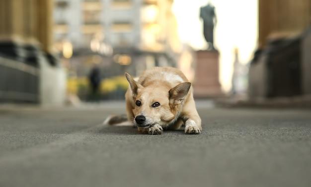 일몰 동안 거리에 누워 있는 동안 외로운 성인 셰퍼드 개 대기 주인