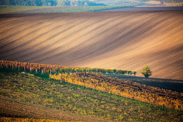 A lonely autumn tree of the moravian fields and lines of autumn vineyards.