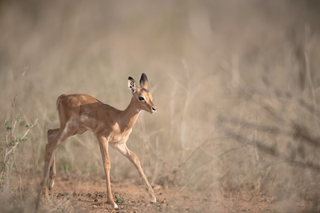 Lonely baby deer running in a bush field