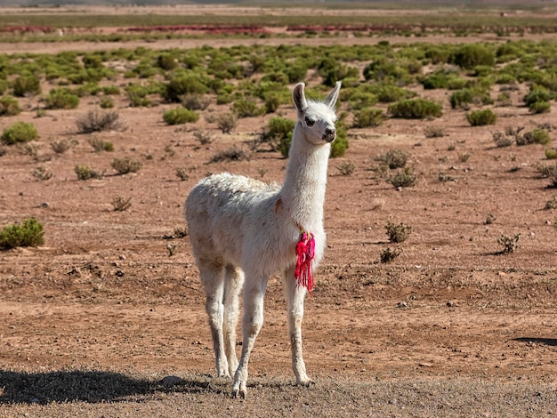Lonely baby llama. autumn desert landscape in the bolivian altiplano. andes, south america