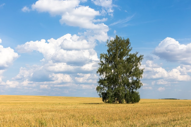 Lonely birch in a field. landscape