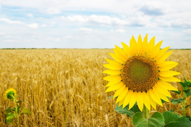 Lonely blooming sunflowers in a field of wheat on a summer day