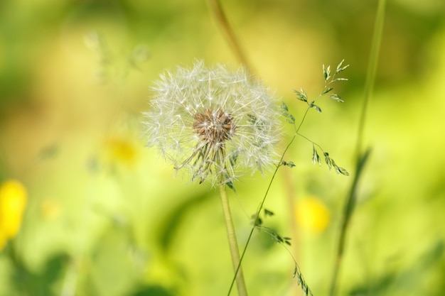 Lonely dandelion on a blurred background
