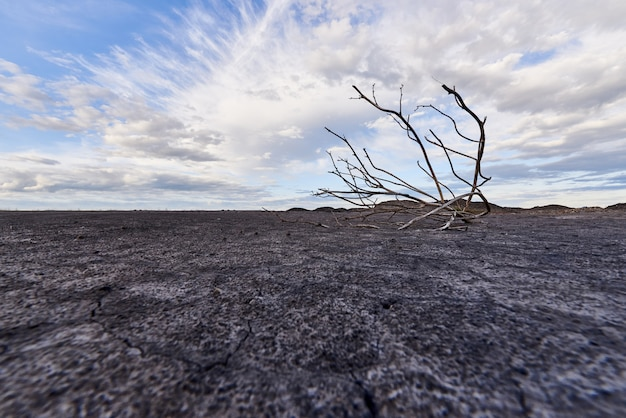 Lonely dead tree in arid soil under a blue sky with clouds. global warming concept.
