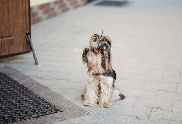 Lonely dog terrier is faithfully waiting for the owner at the door on the street. pets concept