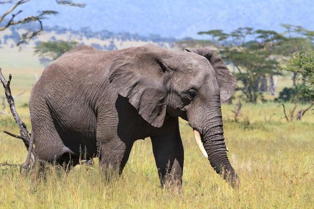 Одинокий слон в саванне серенгети. танзания, африка