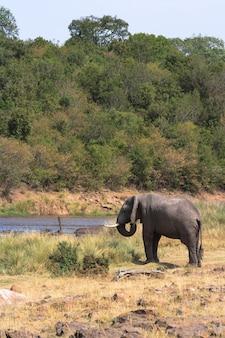 Одинокий слон на берегу реки мара в масаи мара